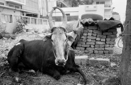 Cow, Bangalore 2009