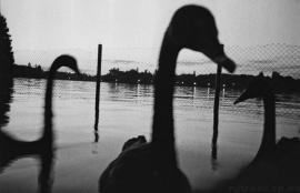 Black swans at Dusk, Bucharest 2011