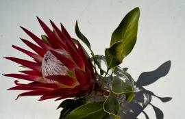 Protea, Cape Town 2012