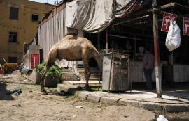 Camel to the Slaughter, Cairo 2011